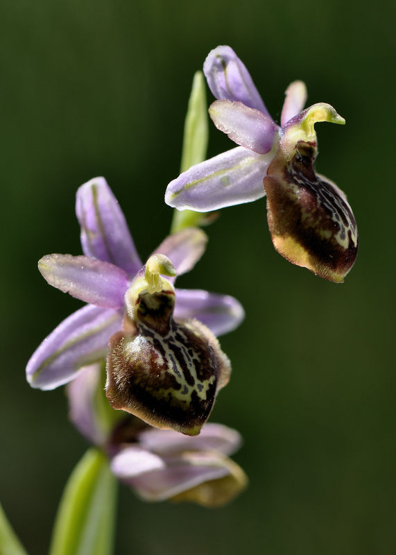_DSC0817_Ophrys_aveyronensis