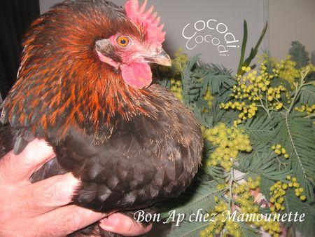 Cocoda_et_le_mimosa_samedi_19_f_vrier_2011_002
