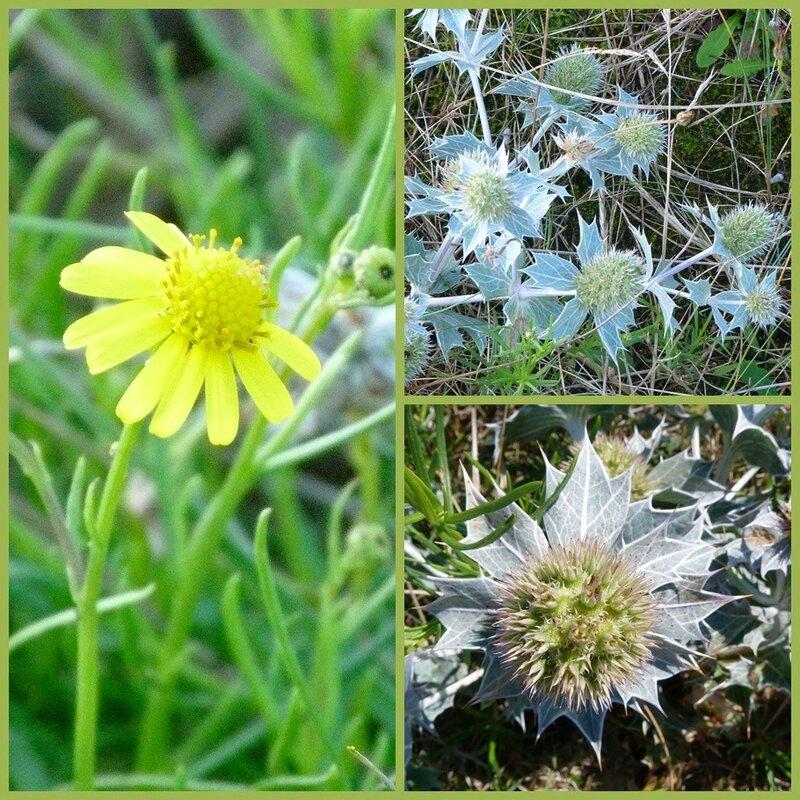 flore côte d'Opale 2