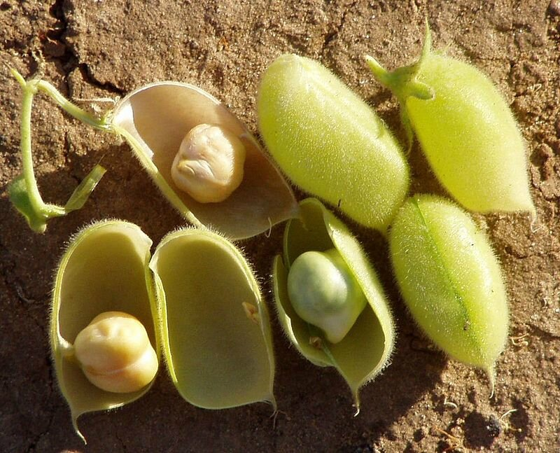 800px-Chickpea_pods