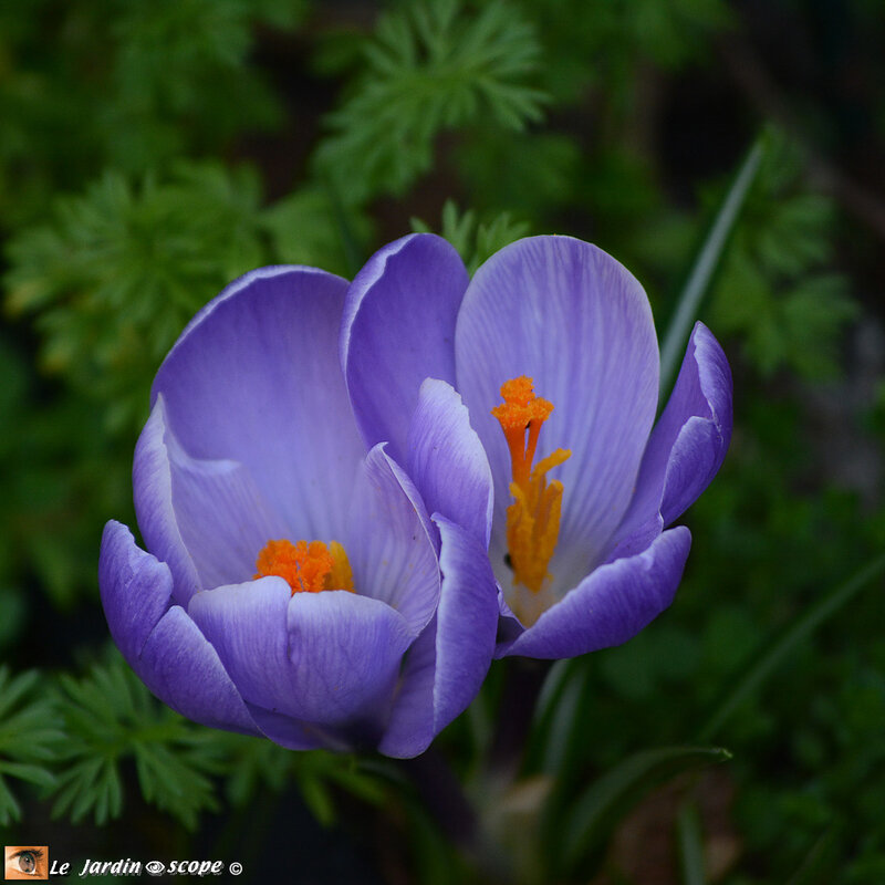 Crocus-mauves-2