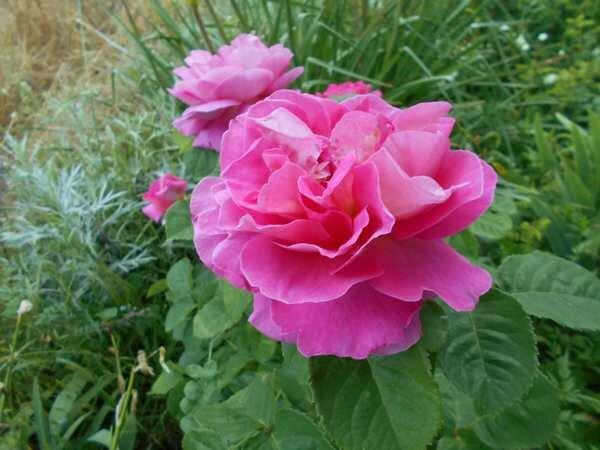 mme figaro rose