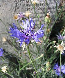 Barbeau (bleuet)