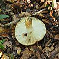 Russula foetens (4)