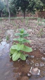 début de l'arrivée de l'eau sur les plants
