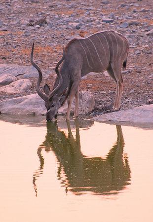 Grand_koudou_m_le__parc_d_Etosha__Namibie