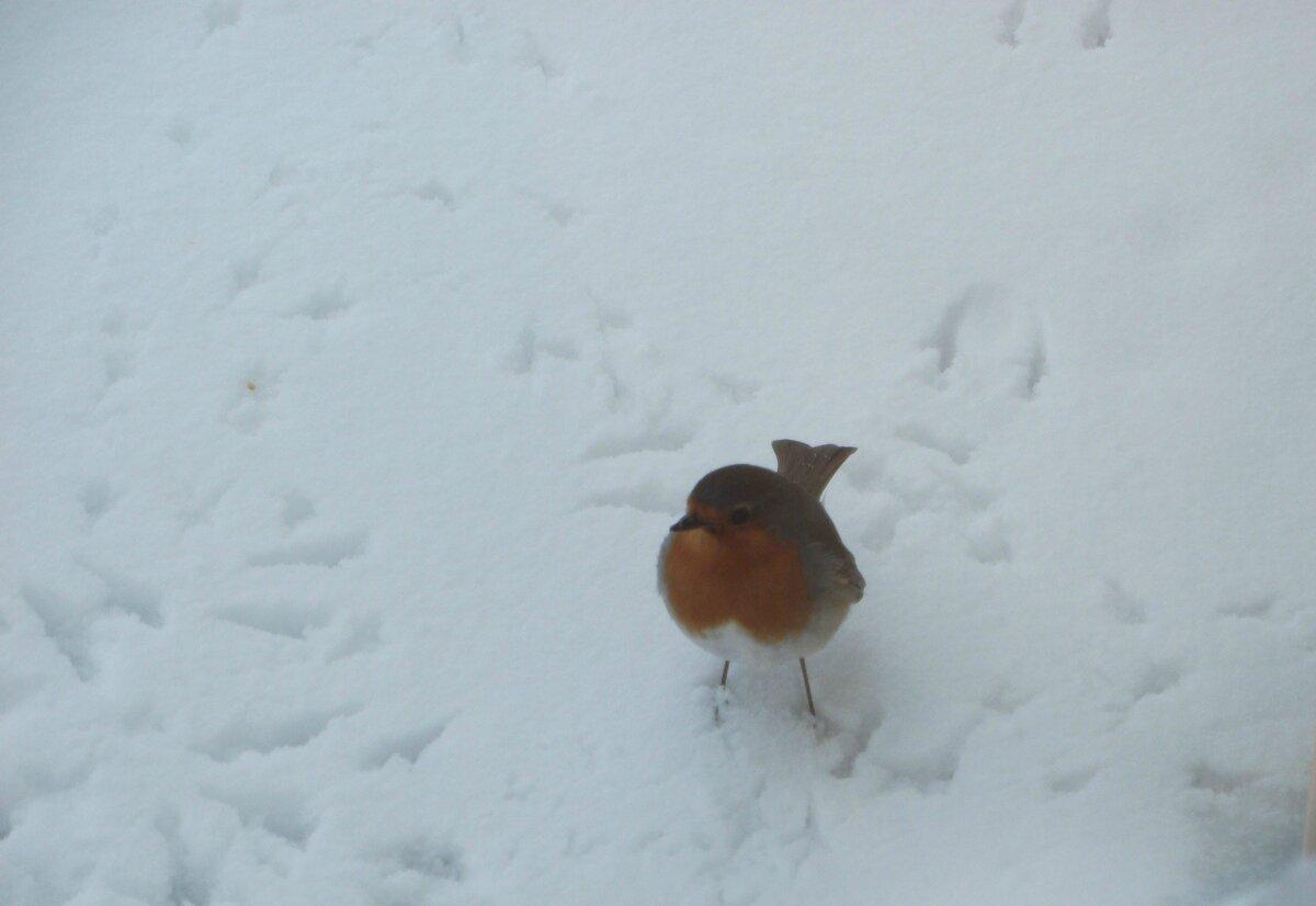 Passereau des neiges