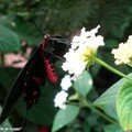 Parides photinus • Papilionidae • Costa Rica