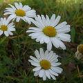 2008 10 13 Des fleurs de marguerites sauvages