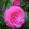 fleur camelia
