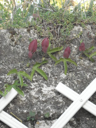 fleur_de_lapassion_