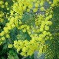 1-Mimosa