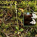 56 Goodyera repens