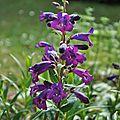 Une floraison éclatante pendant plus de cinq mois