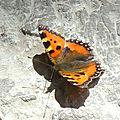 papillon : petite tortue