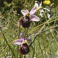 Ophrys bourdon