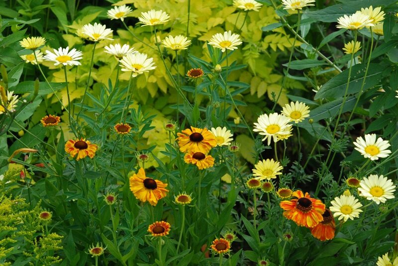 Anthemis C buxton- Helenium sahins early flowerer