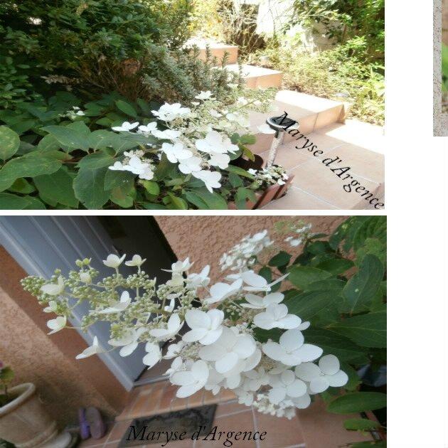 wwwwwwwwwwwwwwwwwHortensia paniculata