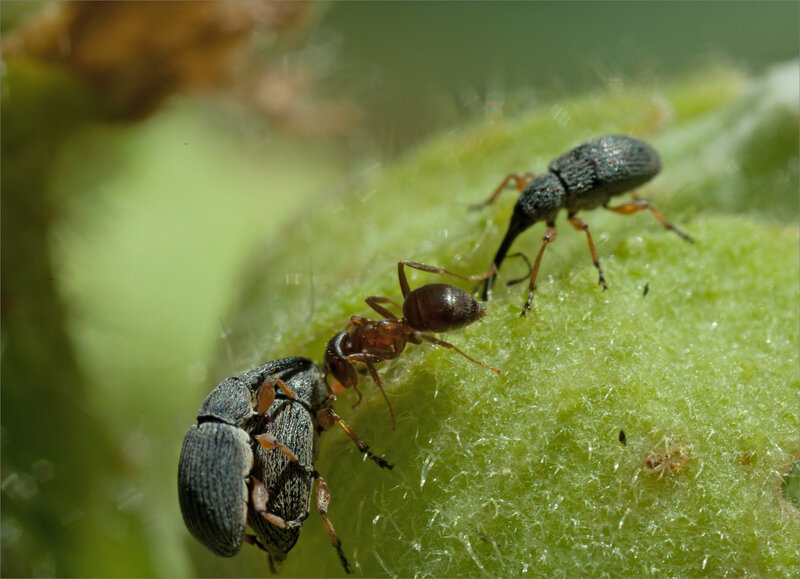 SM rose trémière charançons fourmi 220620 4 ym