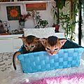 A reserver 2 adorables petites femelles abyssines de couleur lievre: