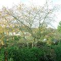 Encore un peu d'automne, avec le cerisier du