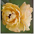 Un dernier bouquet de roses...avant la grisaille de la mauvaise saison...