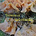 Tremiscus helvelloides