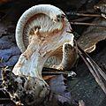 Paxillus involutus (5)