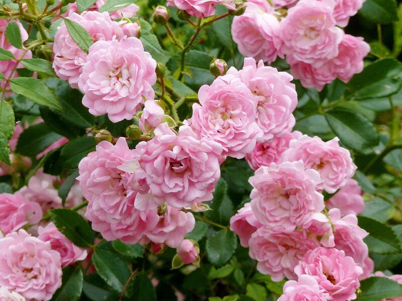 rosier the fairy (3)