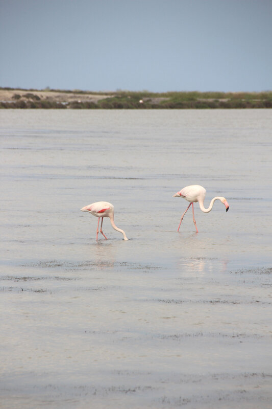 camargue_flamants_roses