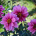 Dahlia 'Fashionissimo' (Label Rouge)