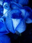 450px_Blue_rose_artificially_coloured