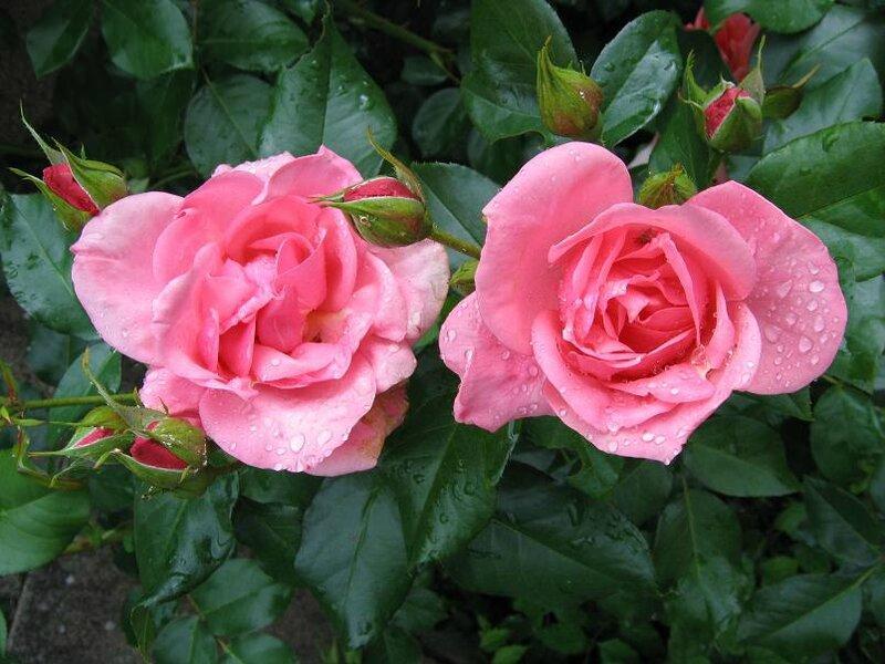 rose rose portail moi 2007 05 14 gouttes de pluie-31%