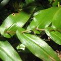 Elle est unique car ses branches transpercent les feuilles