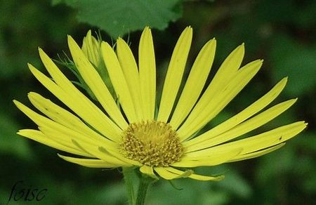 doronicum pardalianches ZZ