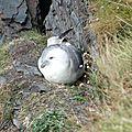 pétrel fulmar -Pays de Galles-