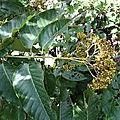 Voici les vérités cachées sur les feuilles de vernonia amygdalina ou feuilles de ndôle