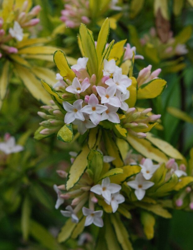 Daphne x burkwoodii 'Golden Treasure