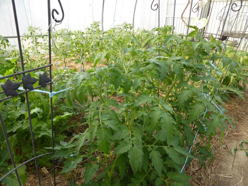 1-tomates