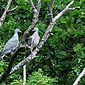 Pigeons dans châtaigner