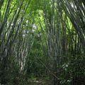 Forêt de bambous (Ile de Ko Chang)