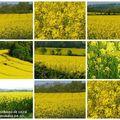 Chez moi la campagne est toute jaune ...