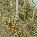 2008 09 10 Mes tomates qui ont le mildiou mais peut de fruit touché