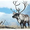 Fiche : le renne/caribou