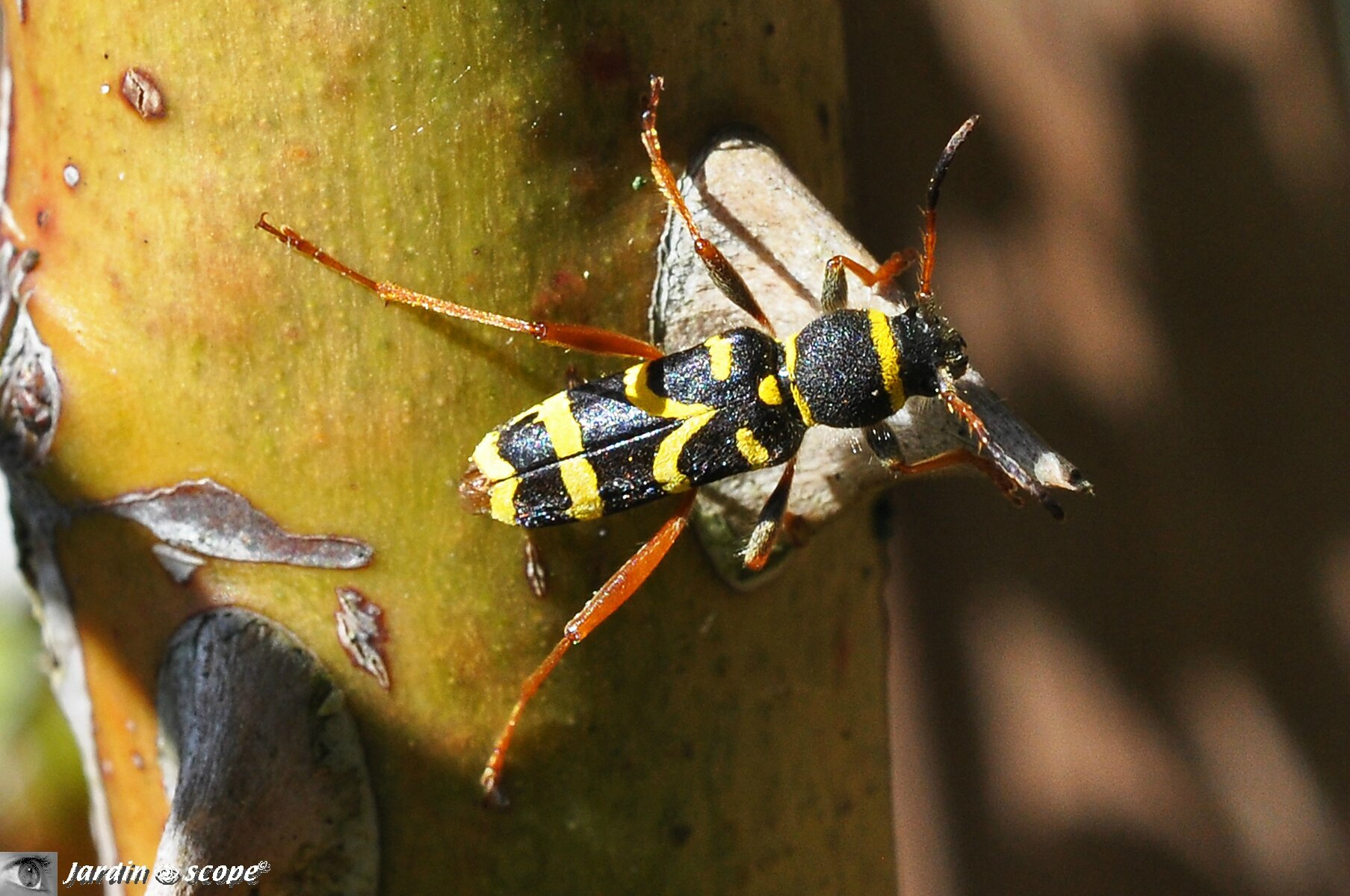 Clyte bélier • Clytus arietis • Famille des Cerambycidae