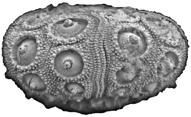 Romanocidaris filograna FPJ5420