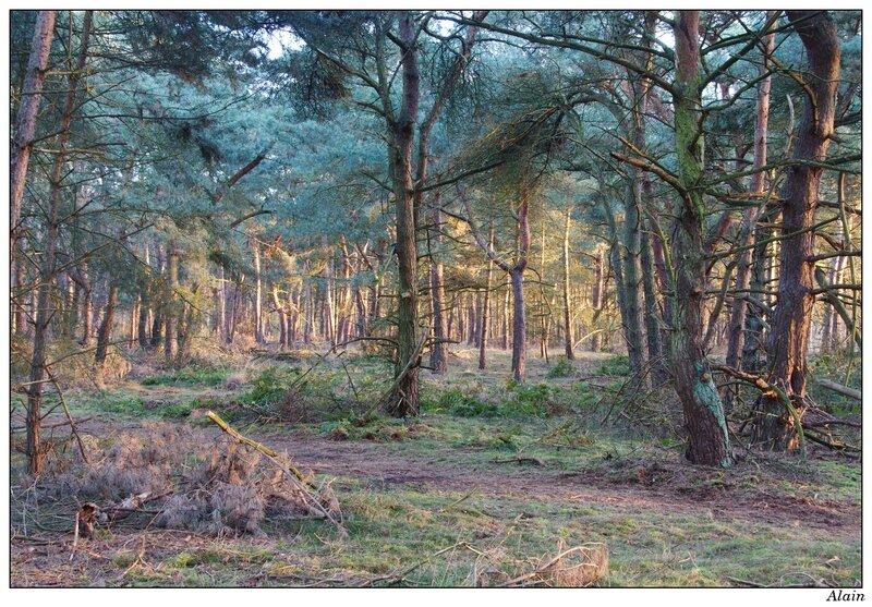 beaucoup de pins...le paradis des roitelets !