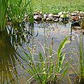 plantain d'eau