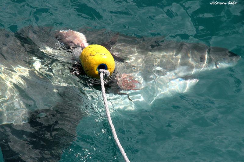 reflet du requin blanc