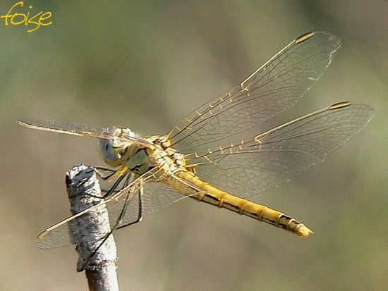 sympetrum_fonscolombii_00